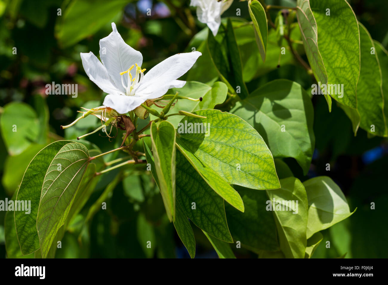 Orchid Tree Flower Stock Photos Orchid Tree Flower Stock Images