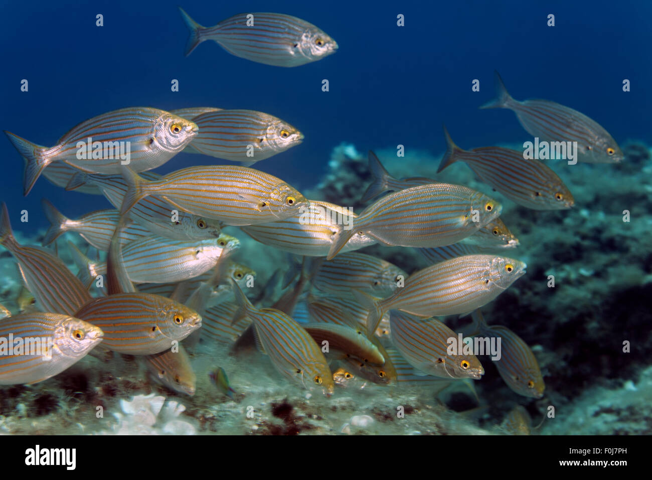 Salema porgy (Sarpa salpa), Corfu, Ionian Islands, Ionian Sea, Mediterranean Sea, Greece - Stock Image