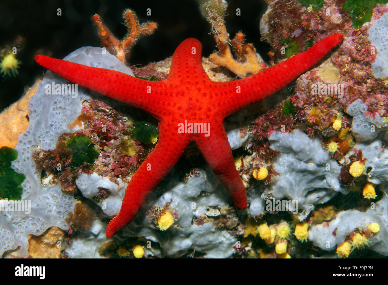Red starfish (Hacelia attenuata), Corfu, Ionian Islands, Ionian Sea, Mediterranean Sea, Greece - Stock Image