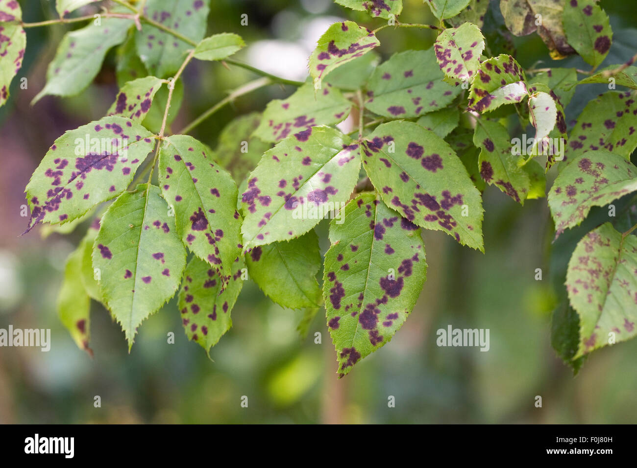 Diplocarpon rosae. Rose black spot disease. - Stock Image