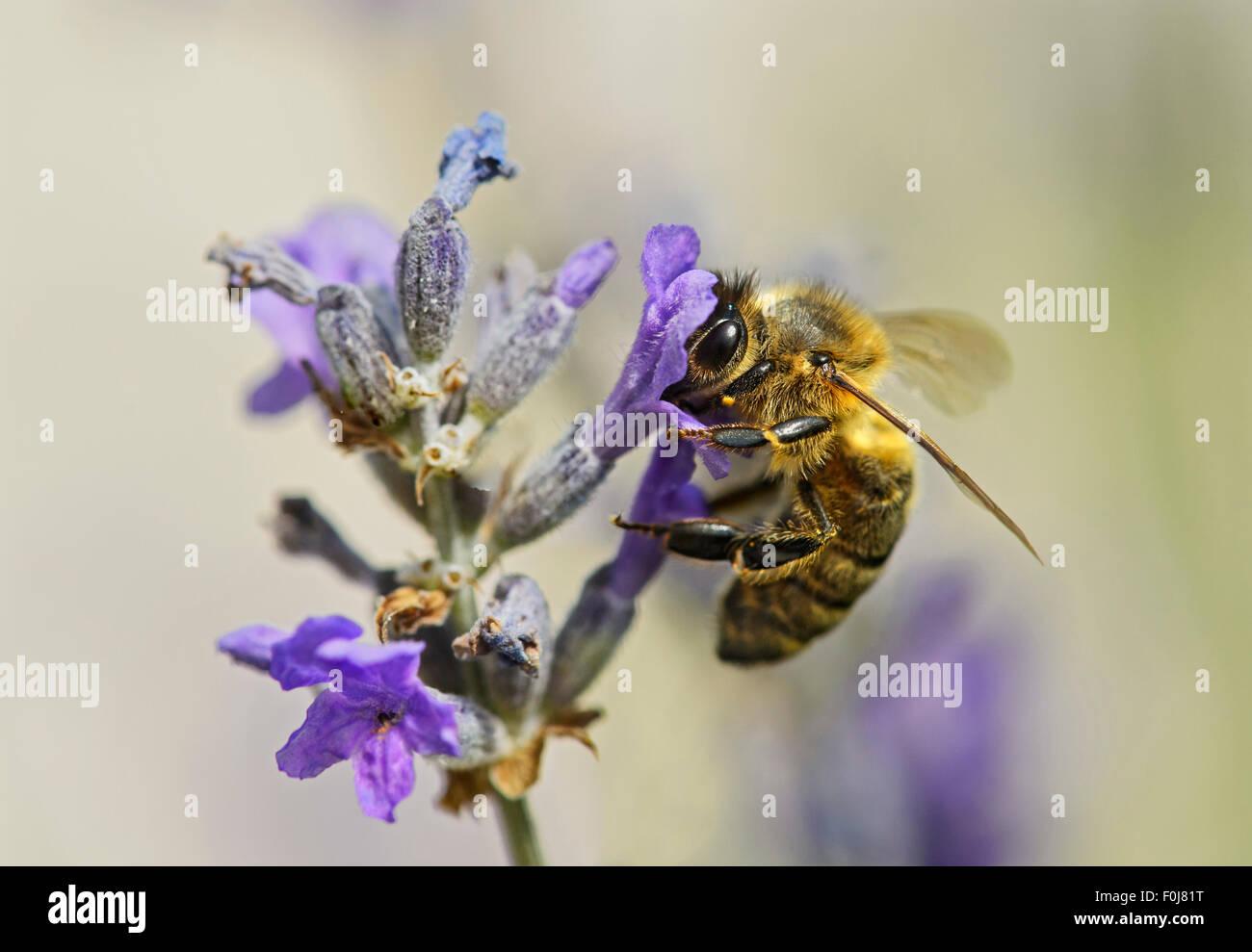Western honey bee (Apis mellifera) gathering nectar from a lavender flower, bee (Apidae), Switzerland - Stock Image