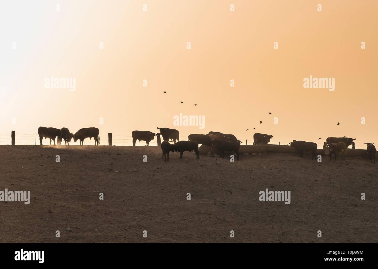 Bulls on a farm. Spain Stock Photo