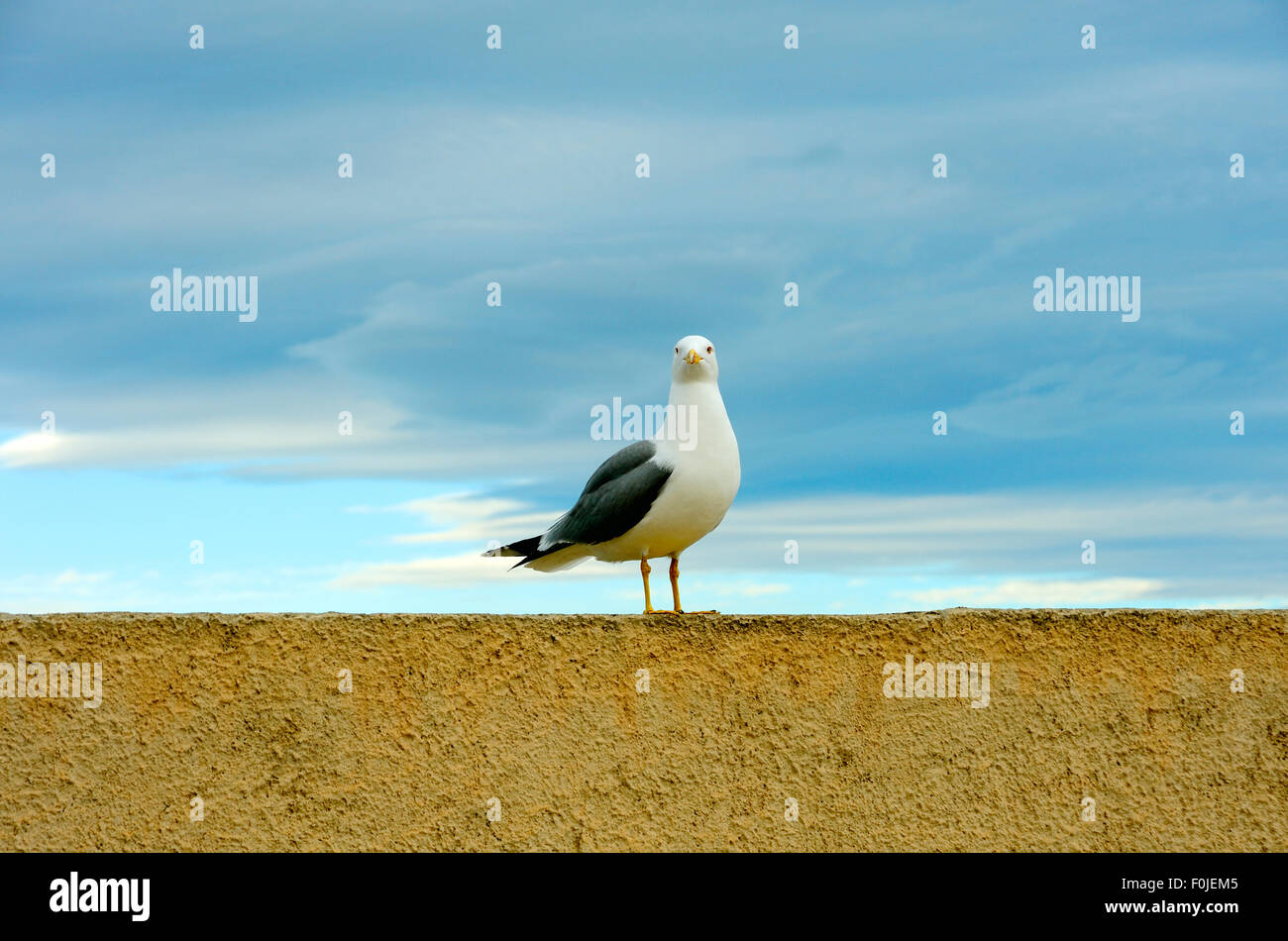 GULL ON A WALL SEAGULL - Stock Image