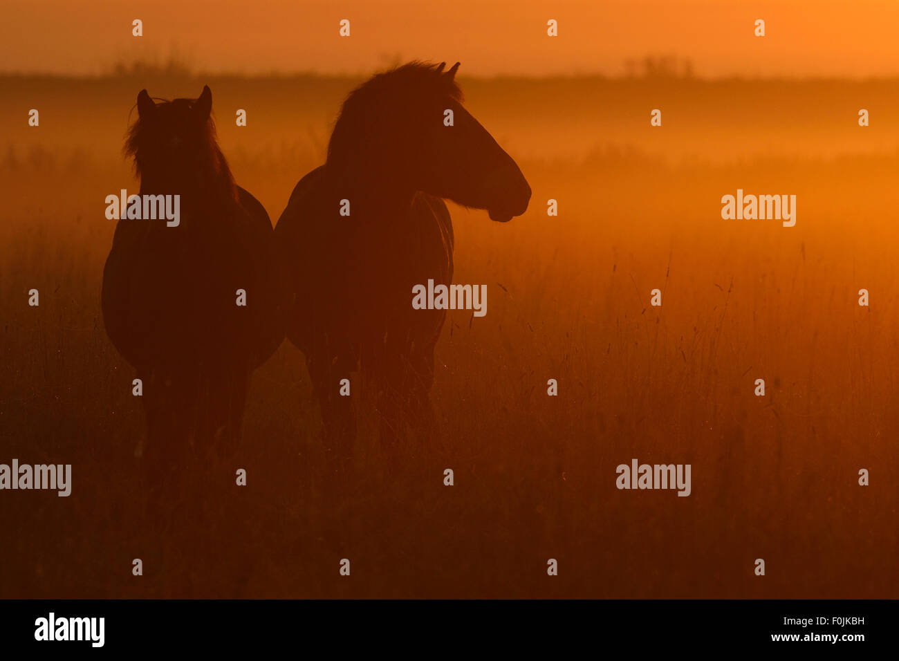 Exmoor ponies at sunrise, one of the oldest and most primitive horse breeds in Europe, Keent Nature Reserve, The Stock Photo