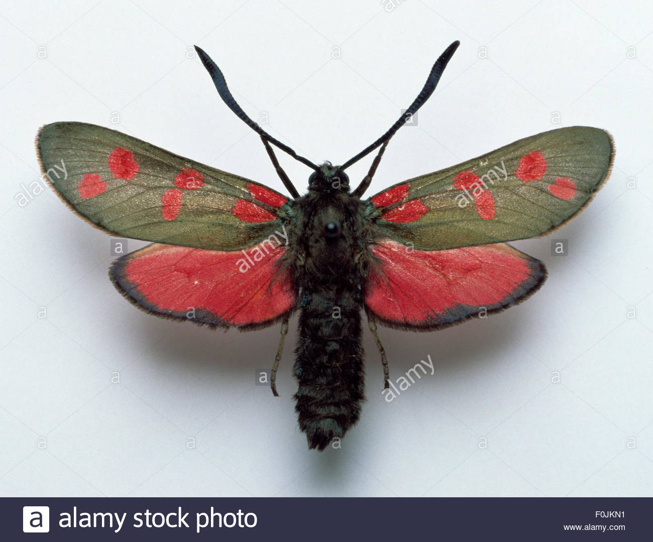 Zygaena filipendulae Six-spot Burnet mounted female moth striking six spot burnet moth with red hindwings and forewing - Stock Image