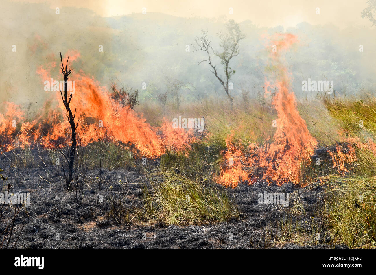 Stubble burning with controlled fires in a reserve in Cameroon - Stock Image