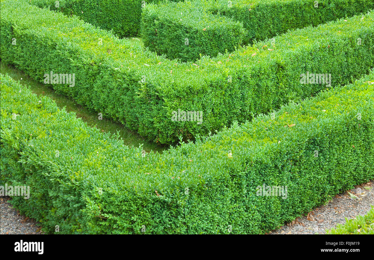 Section of a maze made from hedging. - Stock Image