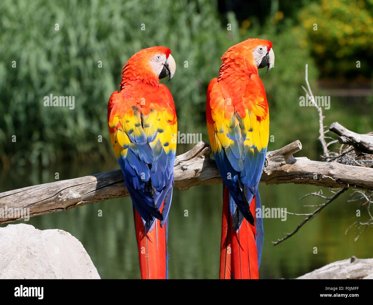 Pair of South American Scarlet macaws (Ara macao) posing on a branch Stock Photo