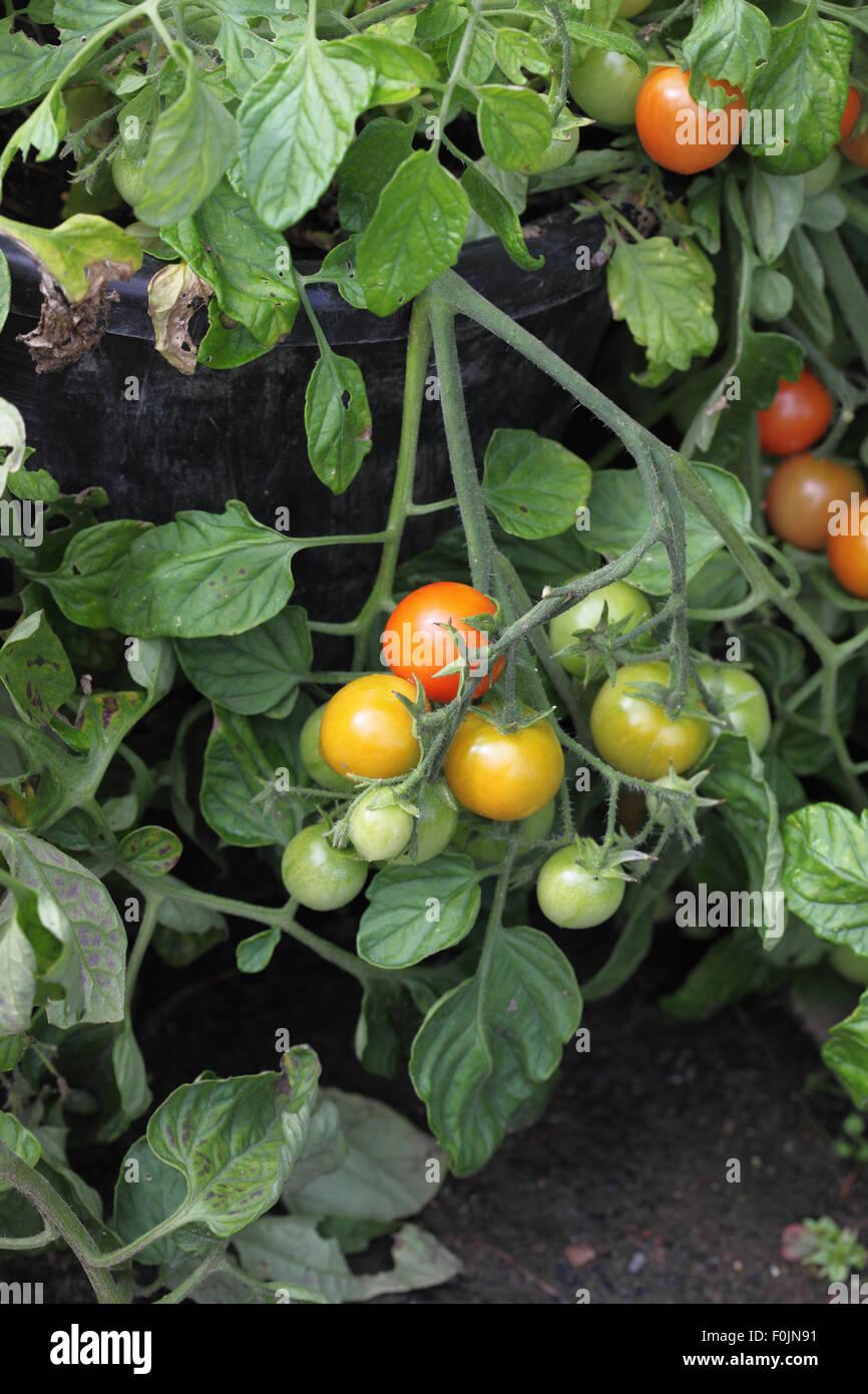 Lycopersicum esculentum 'Tumbler' Tomato close up of ripening fruit - Stock Image