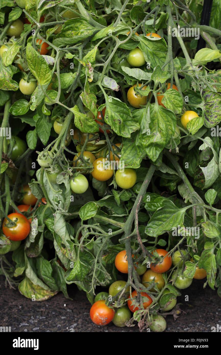 Lycopersicum esculentum 'Tumbler' Tomato plant with ripe fruit - Stock Image