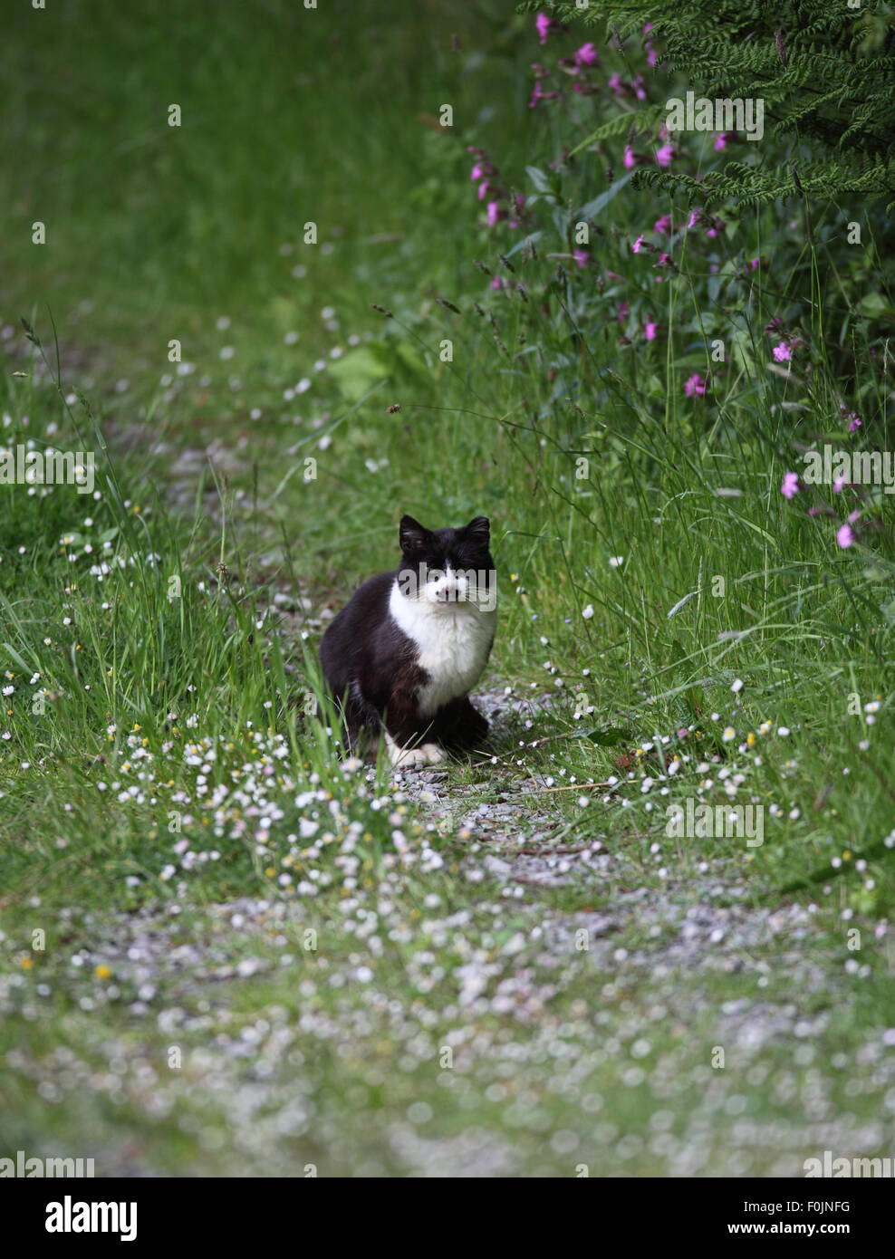 Domestic cat feral siting on path amongst summer flowers - Stock Image