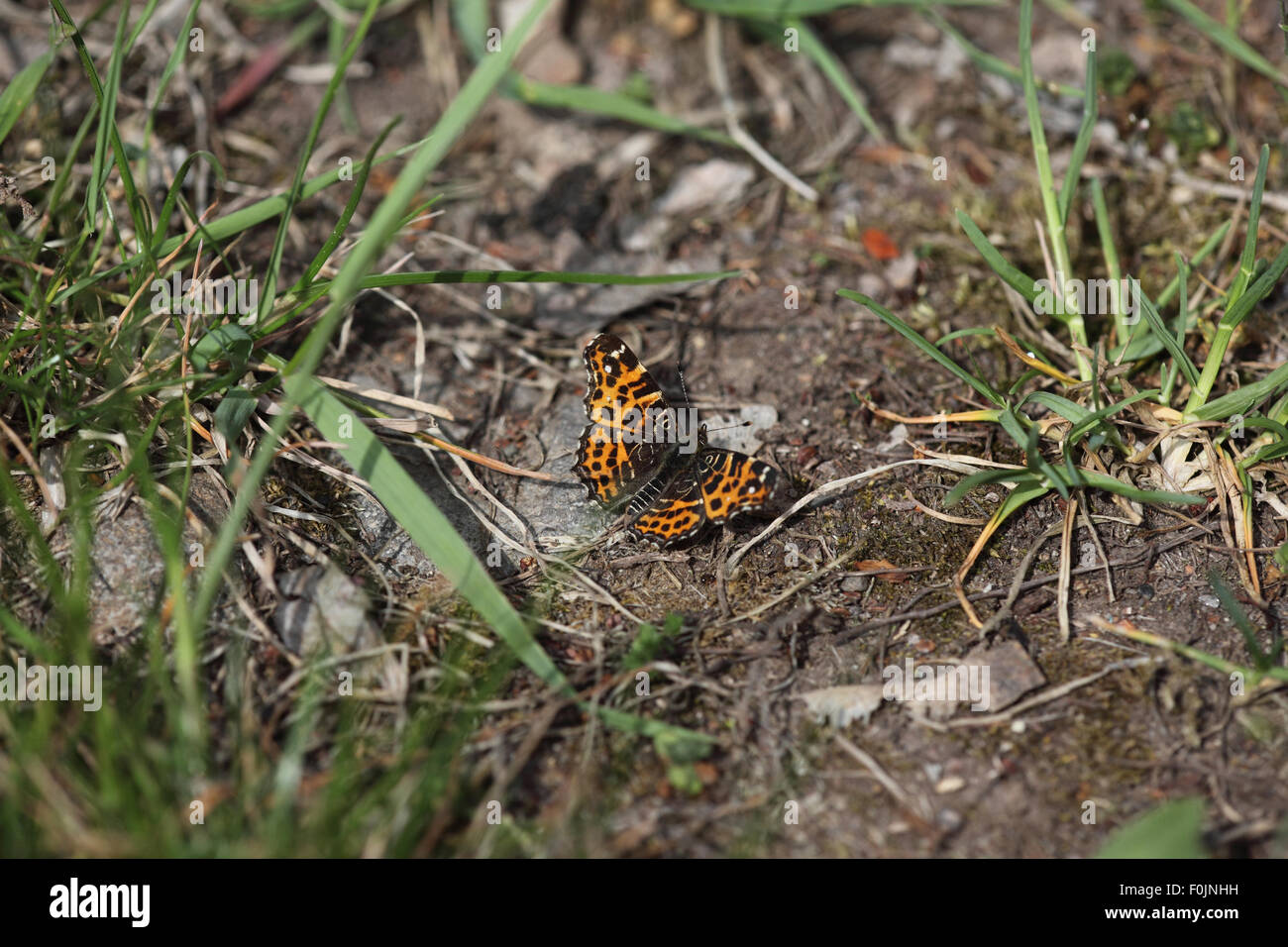 Map butterfly Araschnia levana first brood at rest on ground - Stock Image