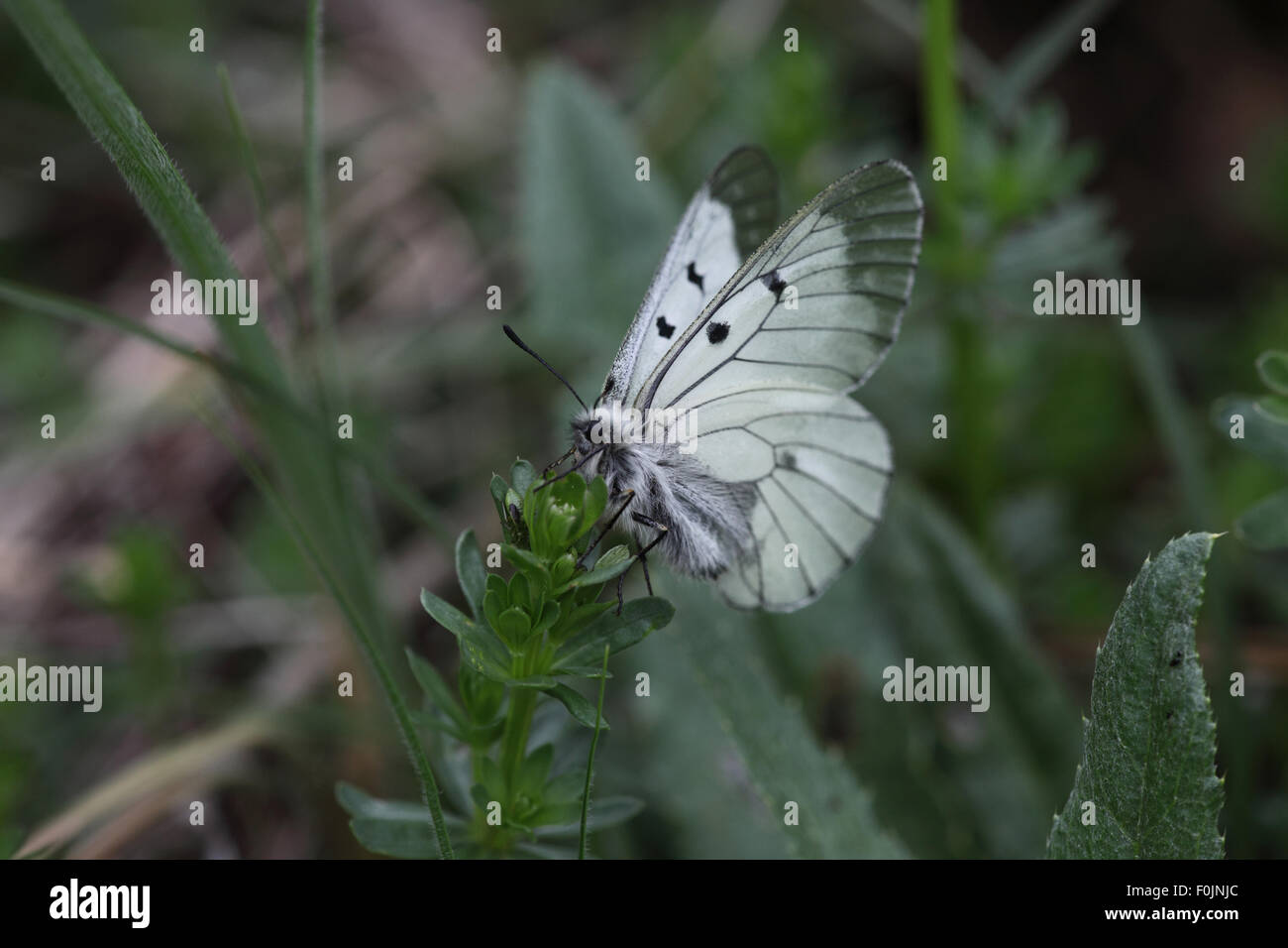 Clouded apollo Parnassius mnemosyne  At rest wings partially open - Stock Image