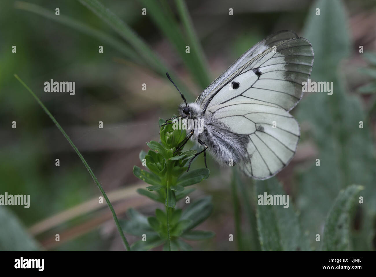 Clouded apollo Parnassius mnemosyne At rest wings closed - Stock Image