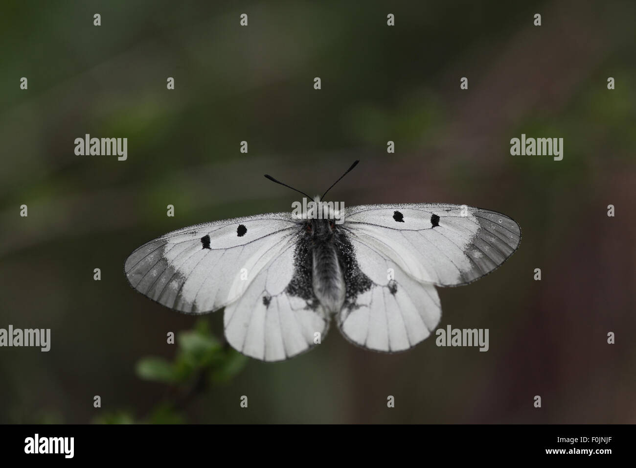 Clouded apollo Parnassius mnemosyne At rest wings open - Stock Image