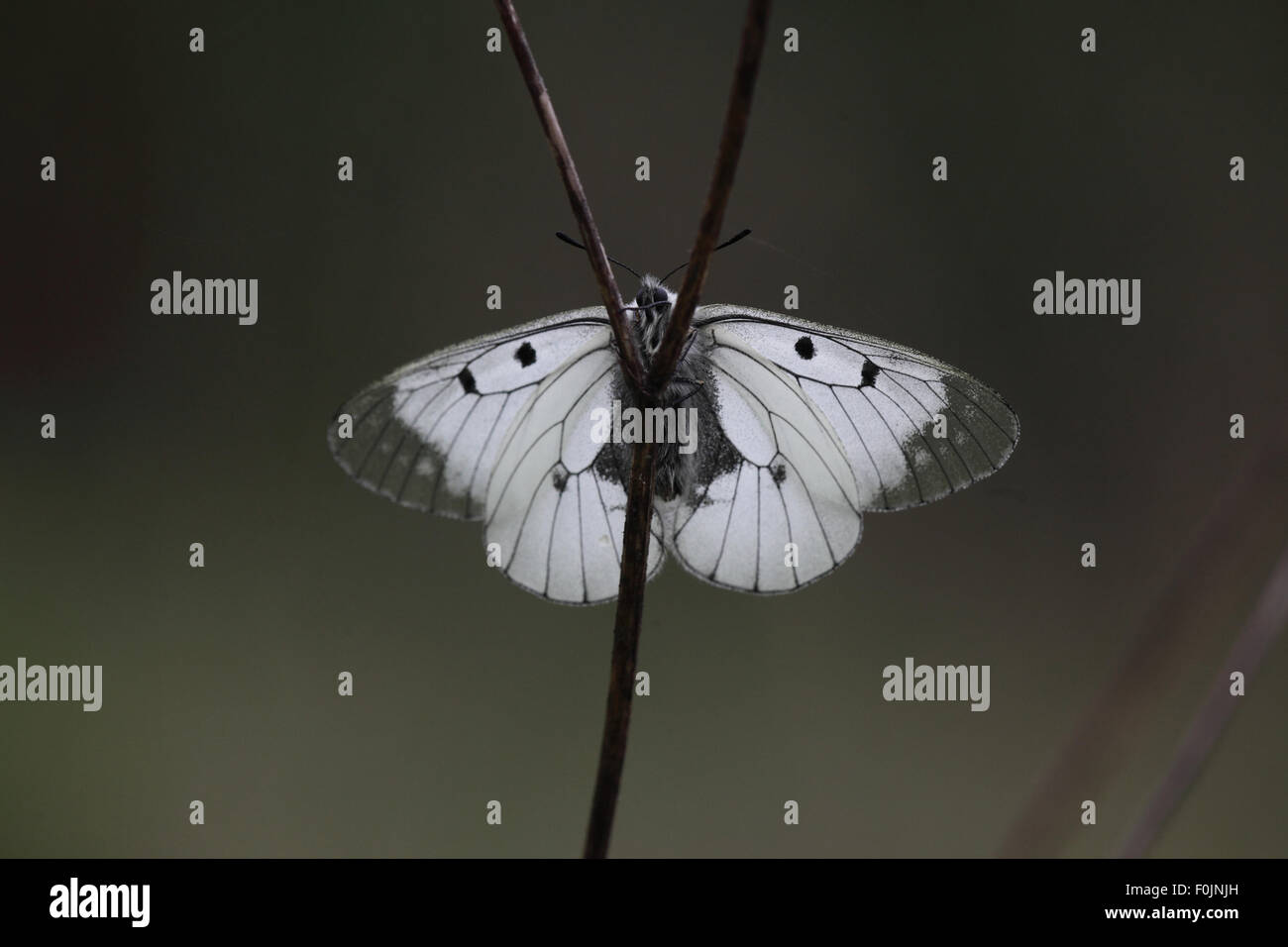 Clouded apollo Parnassius mnemosyne Wings open showing underside - Stock Image