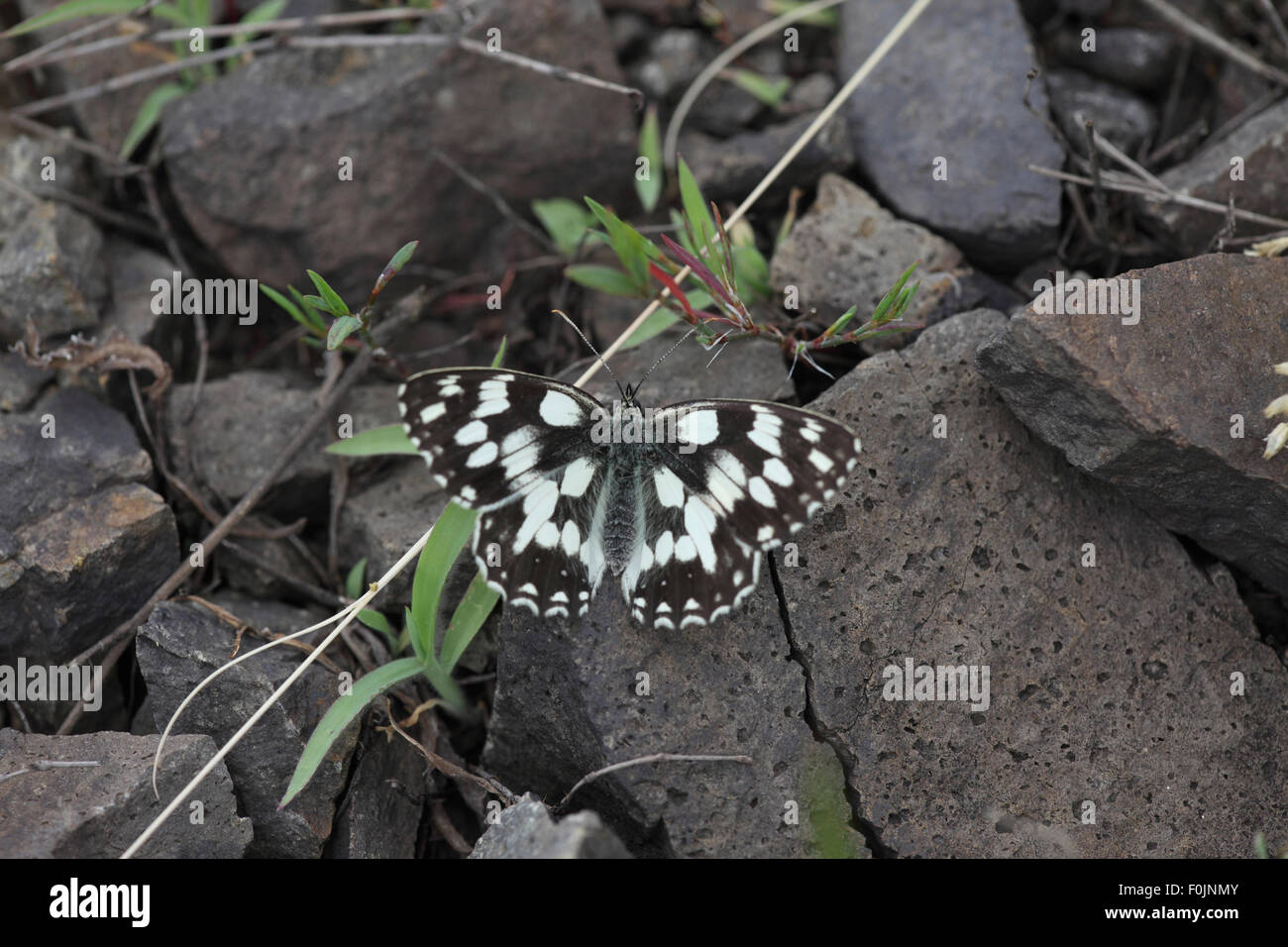 Marbled white Melanorga galanthea at rest on rocks - Stock Image