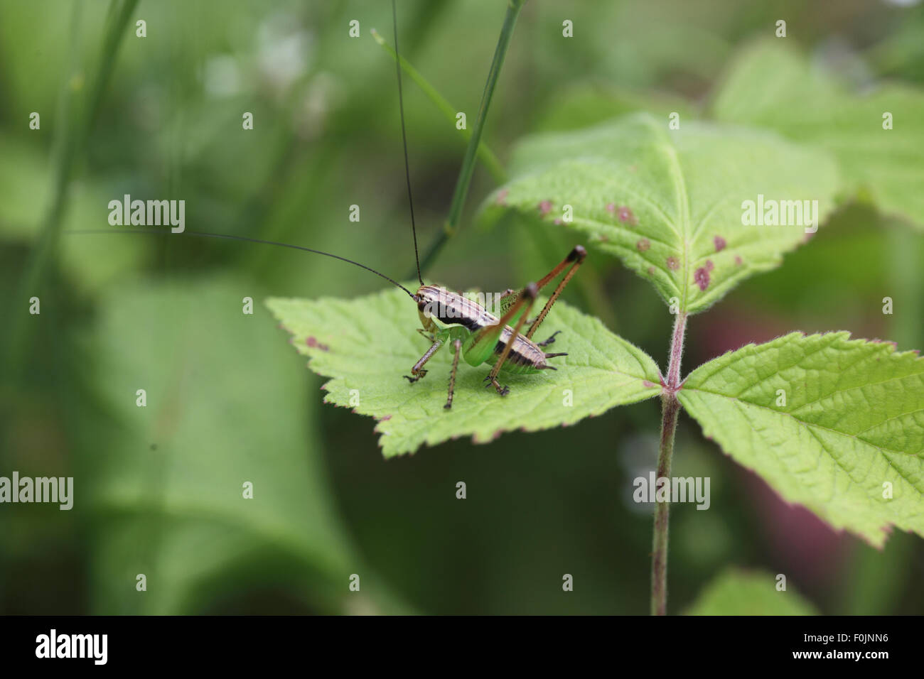 Two coloured bush cricket Metrioptera bicolor at rest on bramble leaf Stock Photo