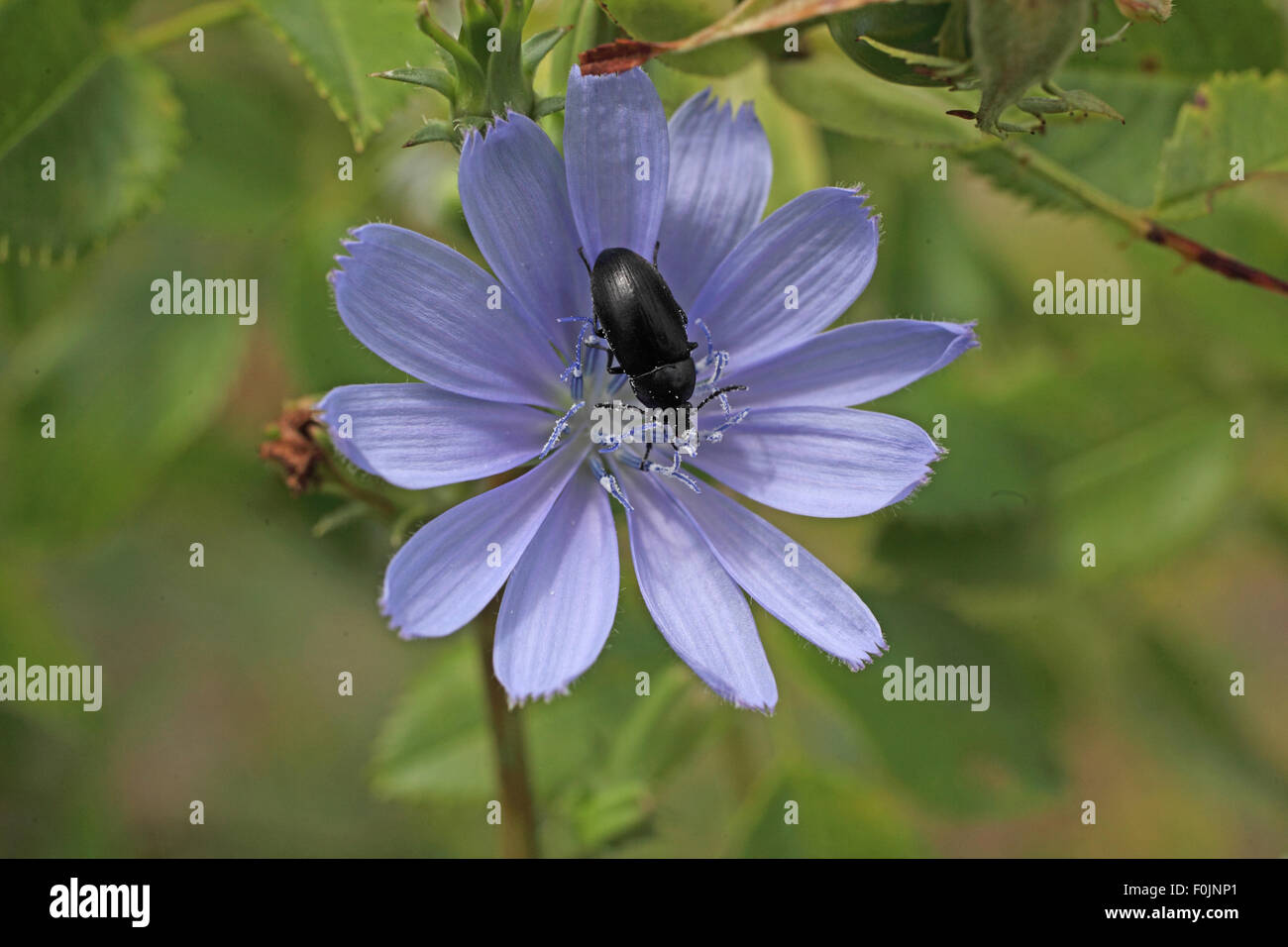 Darkling beetle Tenebrio spp  on chicory flower - Stock Image