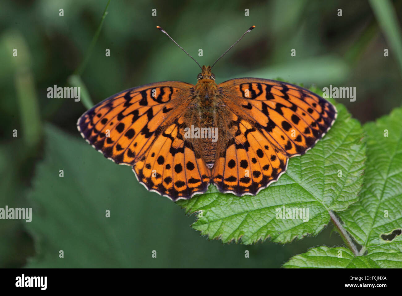 Marbled fritillary Brenthis daphne at rest on bramble leaf - Stock Image