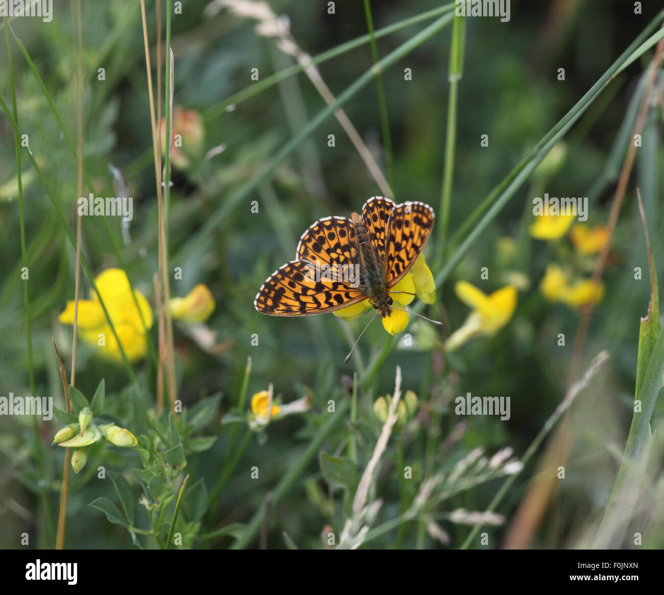 Marbled fritillary Brenthis daphne feeding on vetch - Stock Image