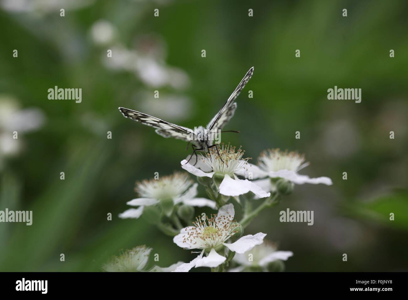 Marbled white Melanargia galathea  taking nectar from bramble - Stock Image