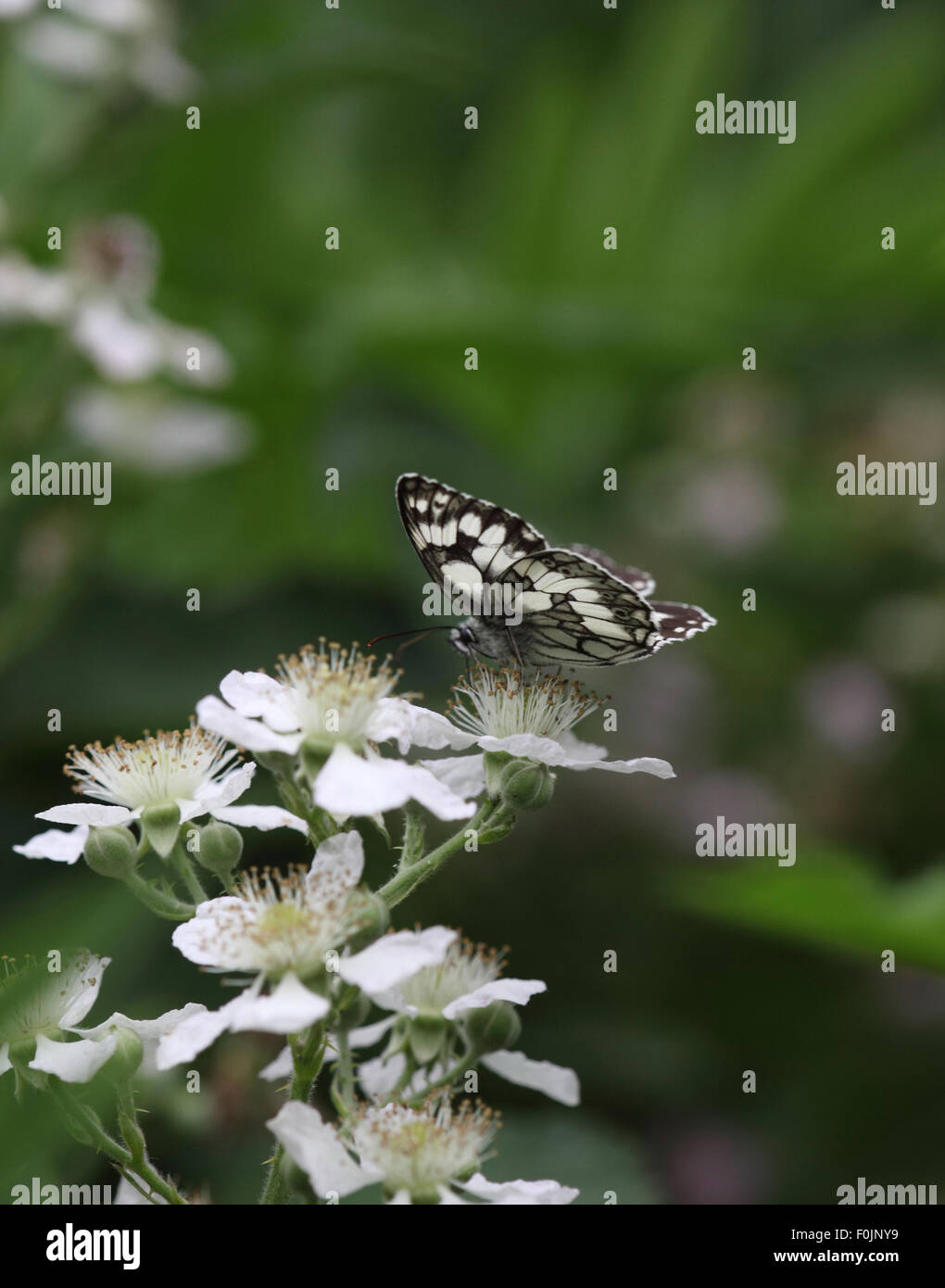Marbled white Melanargia galathea taking nectar from bramble - Stock Image