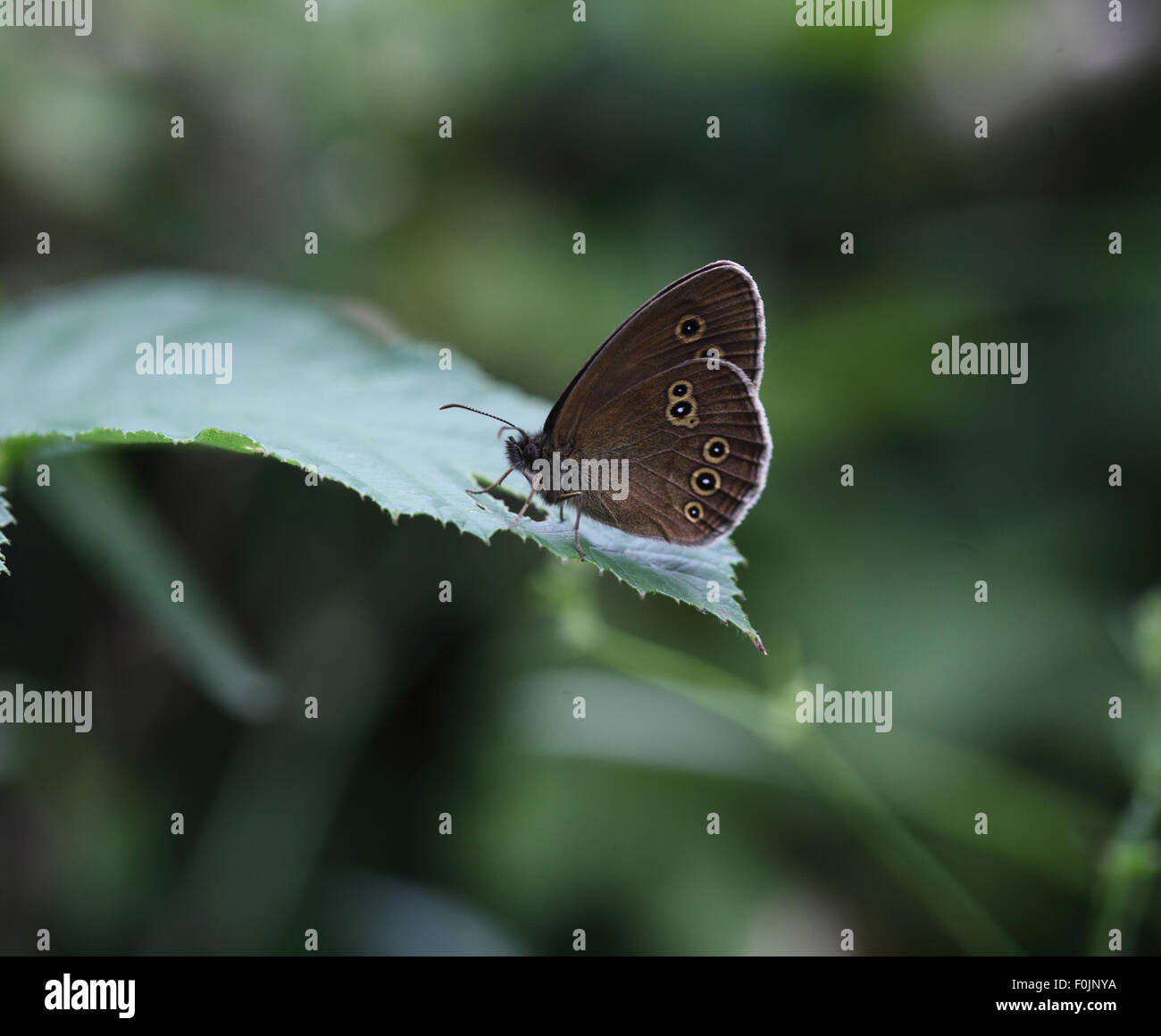 Ringlet Aphantopus hyperanthus at rest on leaf - Stock Image