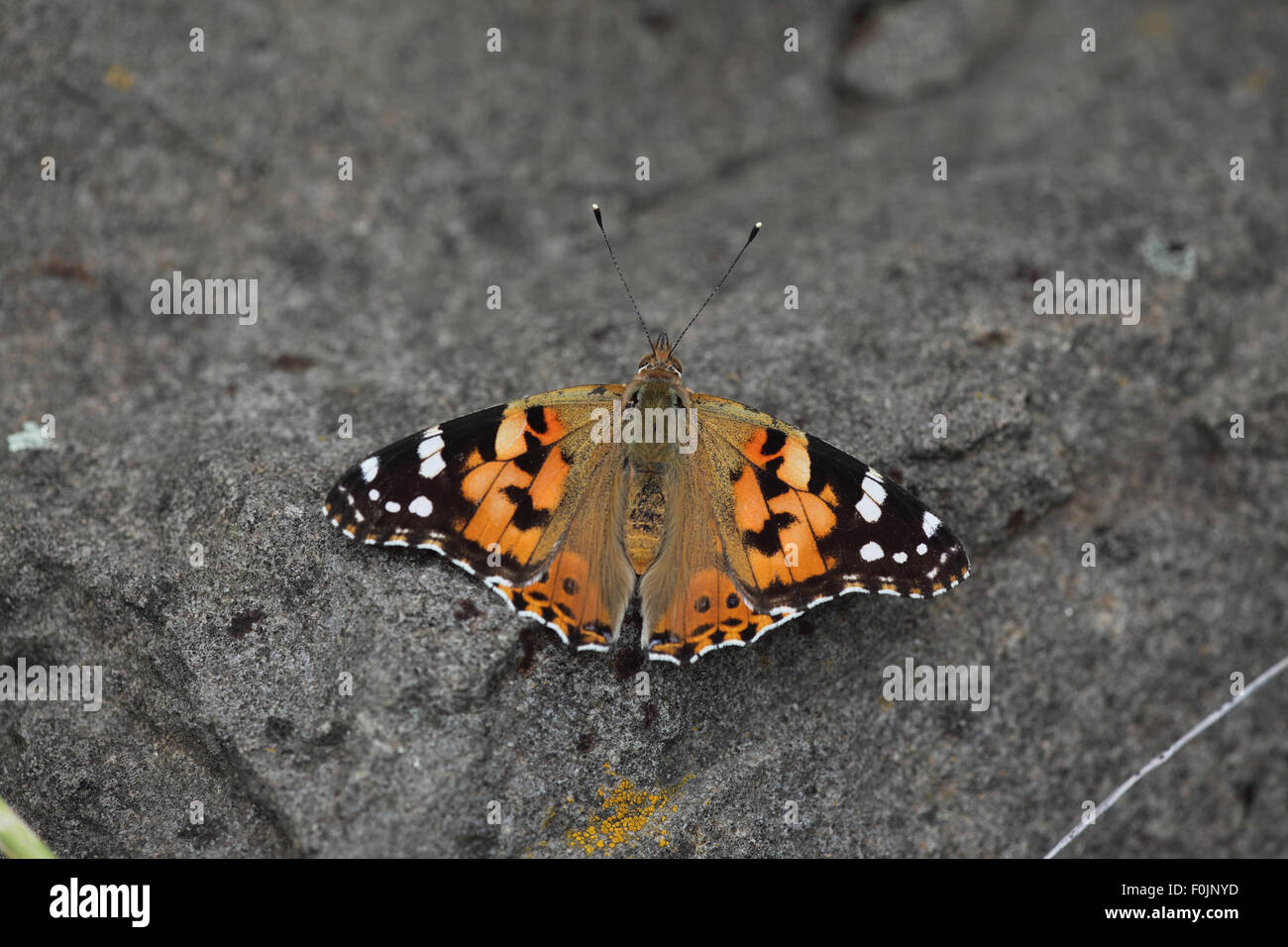 Painted lady Cynthia cardui at rest on stone - Stock Image