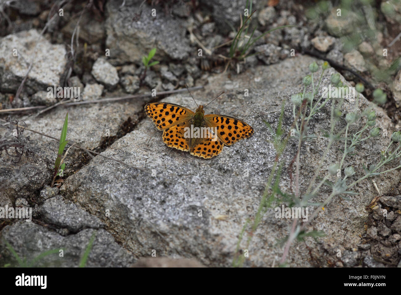 Queen of spain fritillary Issoria lathonia  at rest on rock Stock Photo