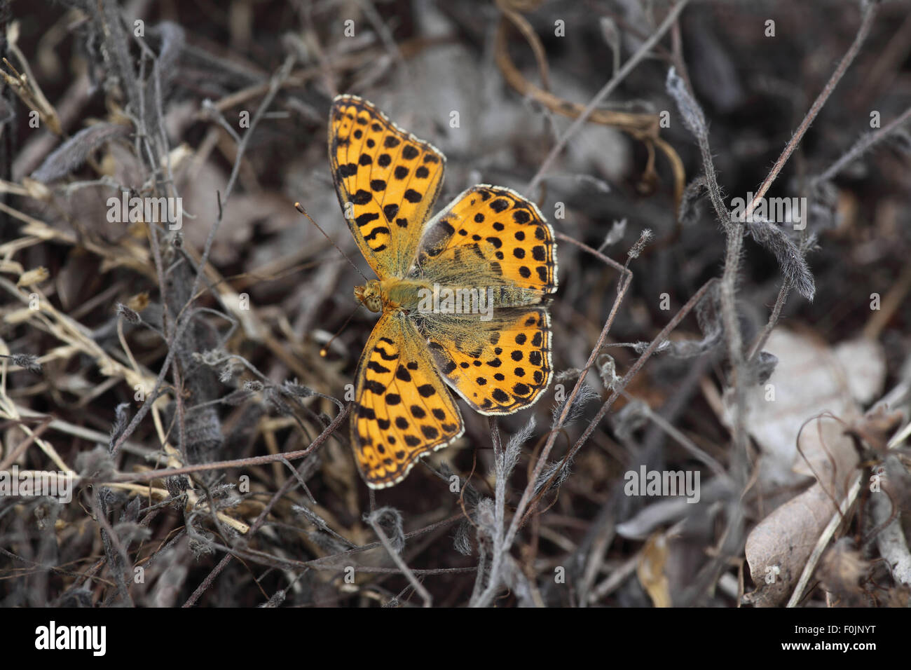 Queen of spain fritillary Issoria lathonia  at rest amongst plant stalks Stock Photo