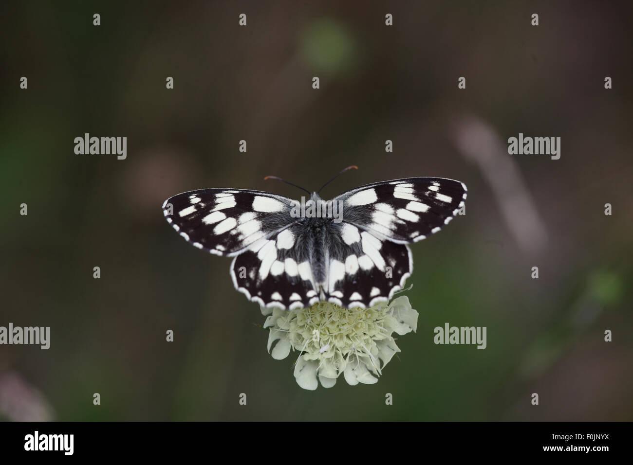 Marbled white Melanargia galathea feeding on scabious - Stock Image