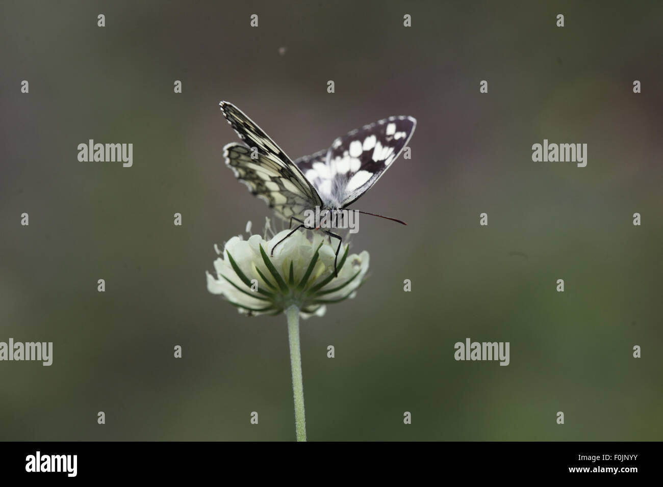 Marbled white Melanargia galathea feeding on scabious - Stock Image