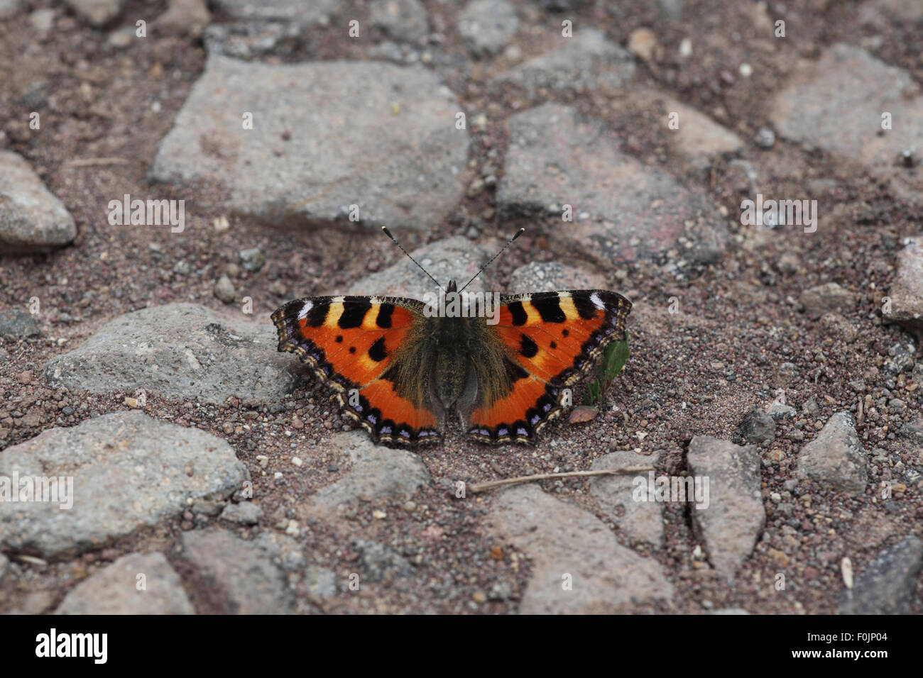 Small tortoiseshell Anglais urticae  basking on forest track - Stock Image
