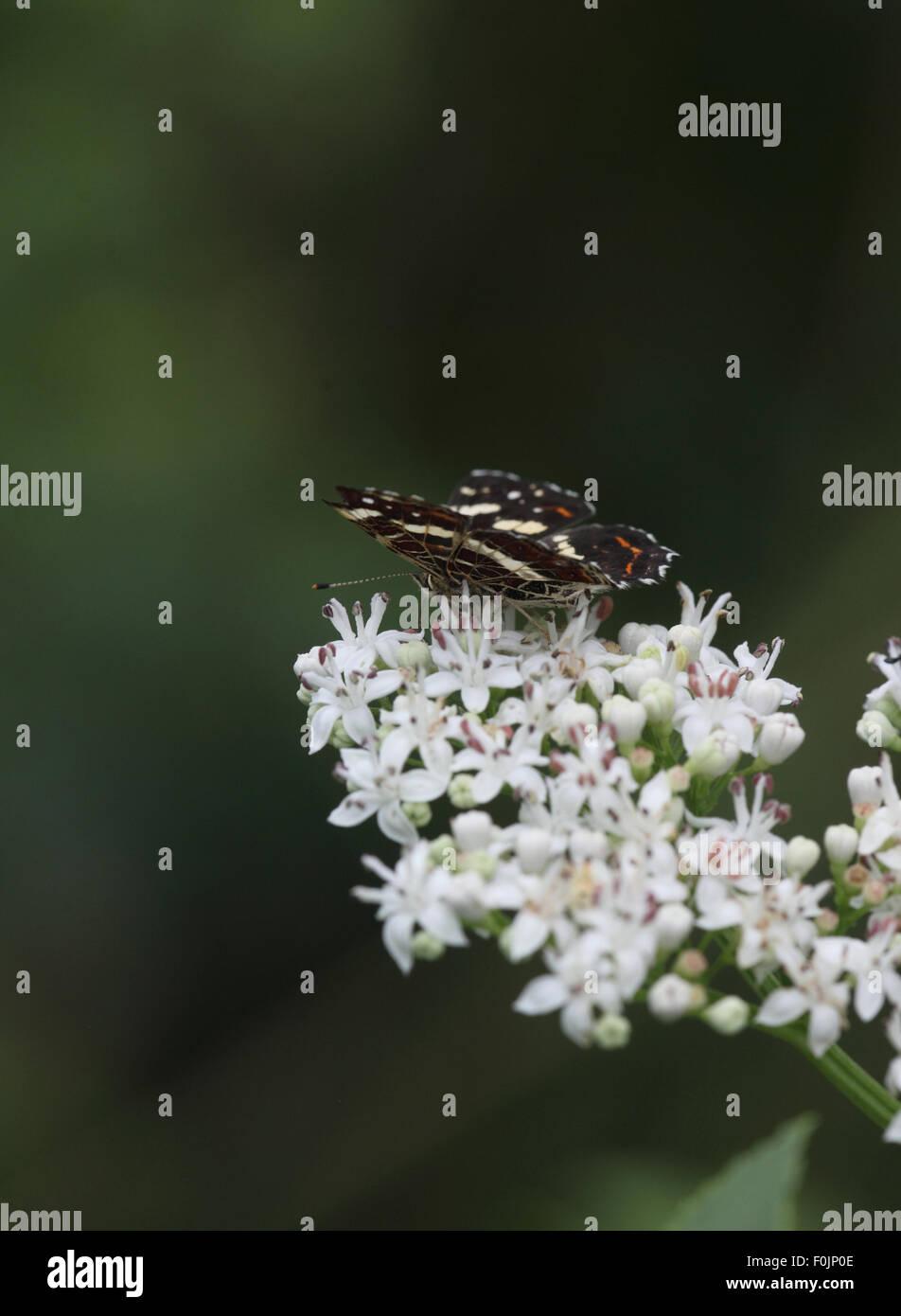 Map Arachnia lavana taking nectar from scrub elder - Stock Image