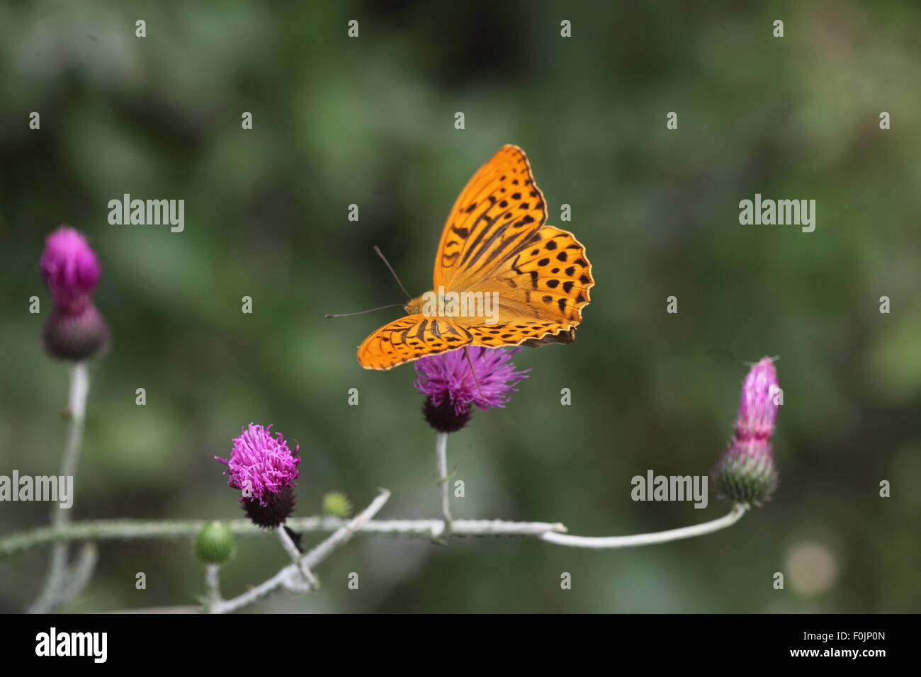 Silver washed fritillary Argynnis paphia male taking nectar from thistle - Stock Image
