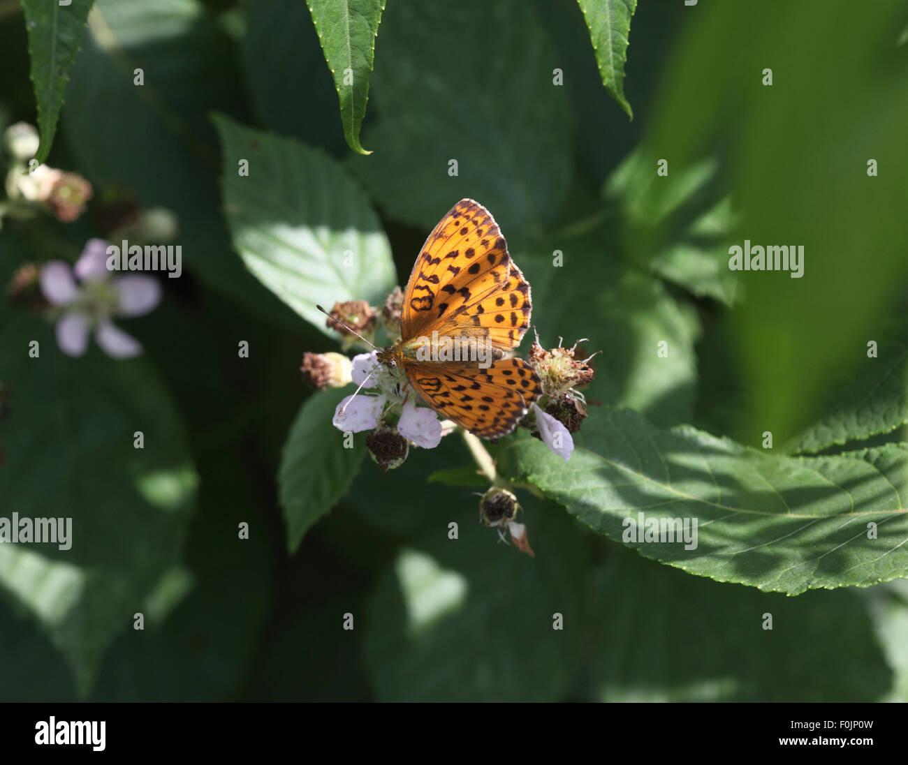 Marbled fritillary Brenthis daphne taking nectar from bramble flower - Stock Image