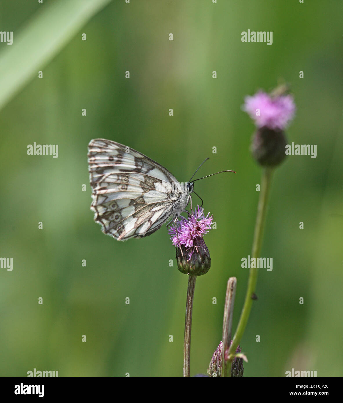 Marbled white Melanargia galanthia  taking nectar from thistle - Stock Image