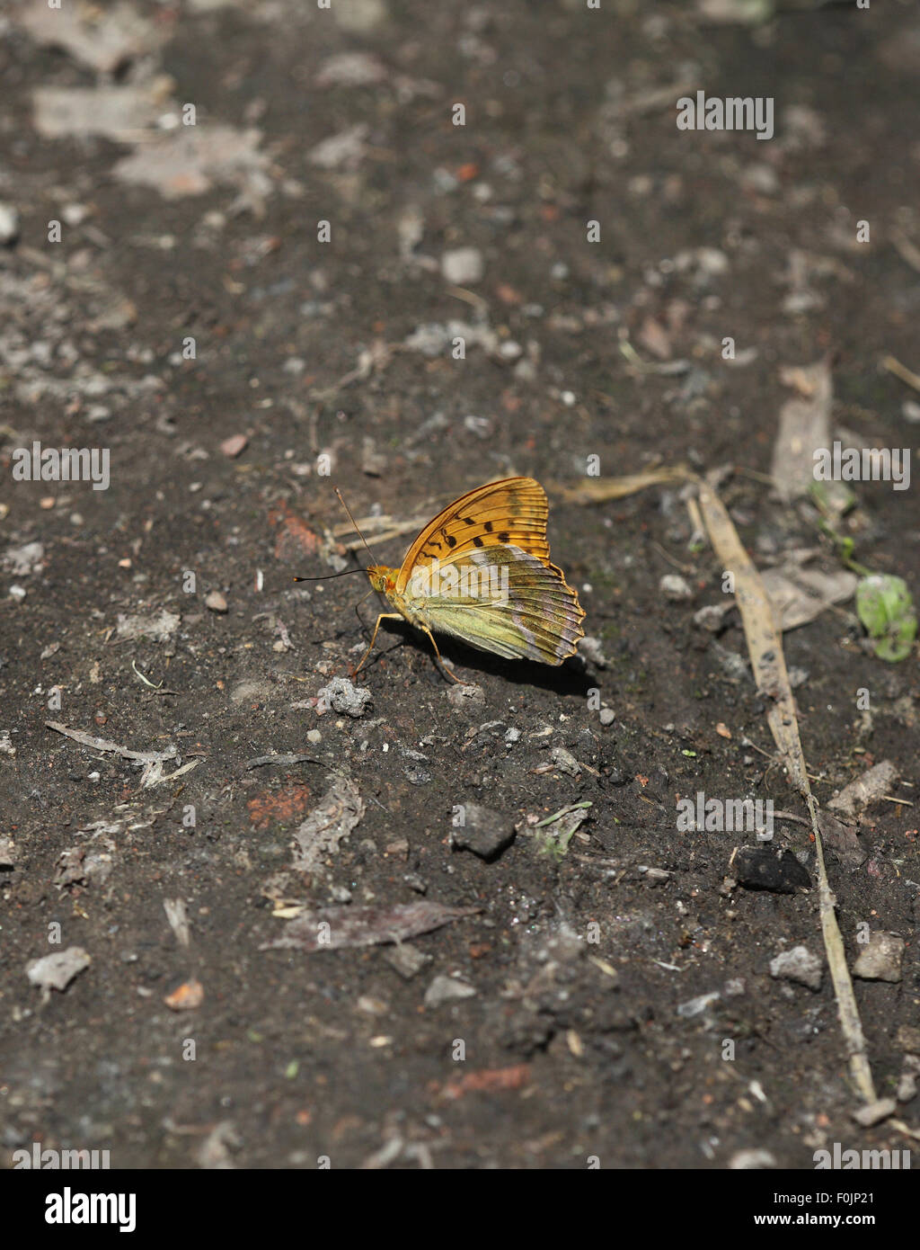 Silver washed fritillary Argynnis paphia taking food from damp soil Stock Photo