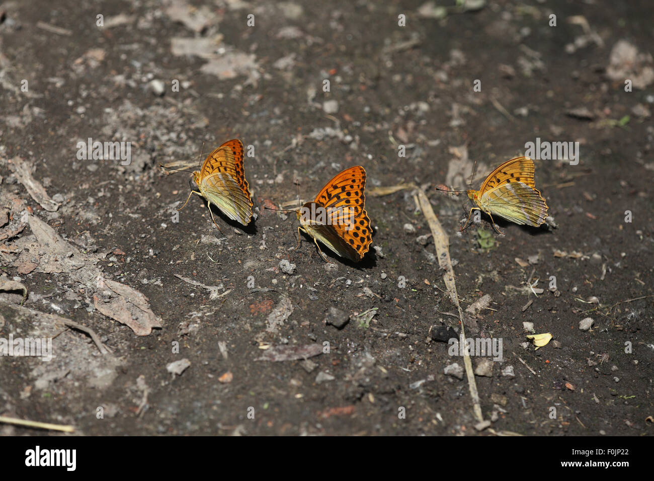 Silver washed fritillary Argynnis paphia feeding on damp soil Stock Photo
