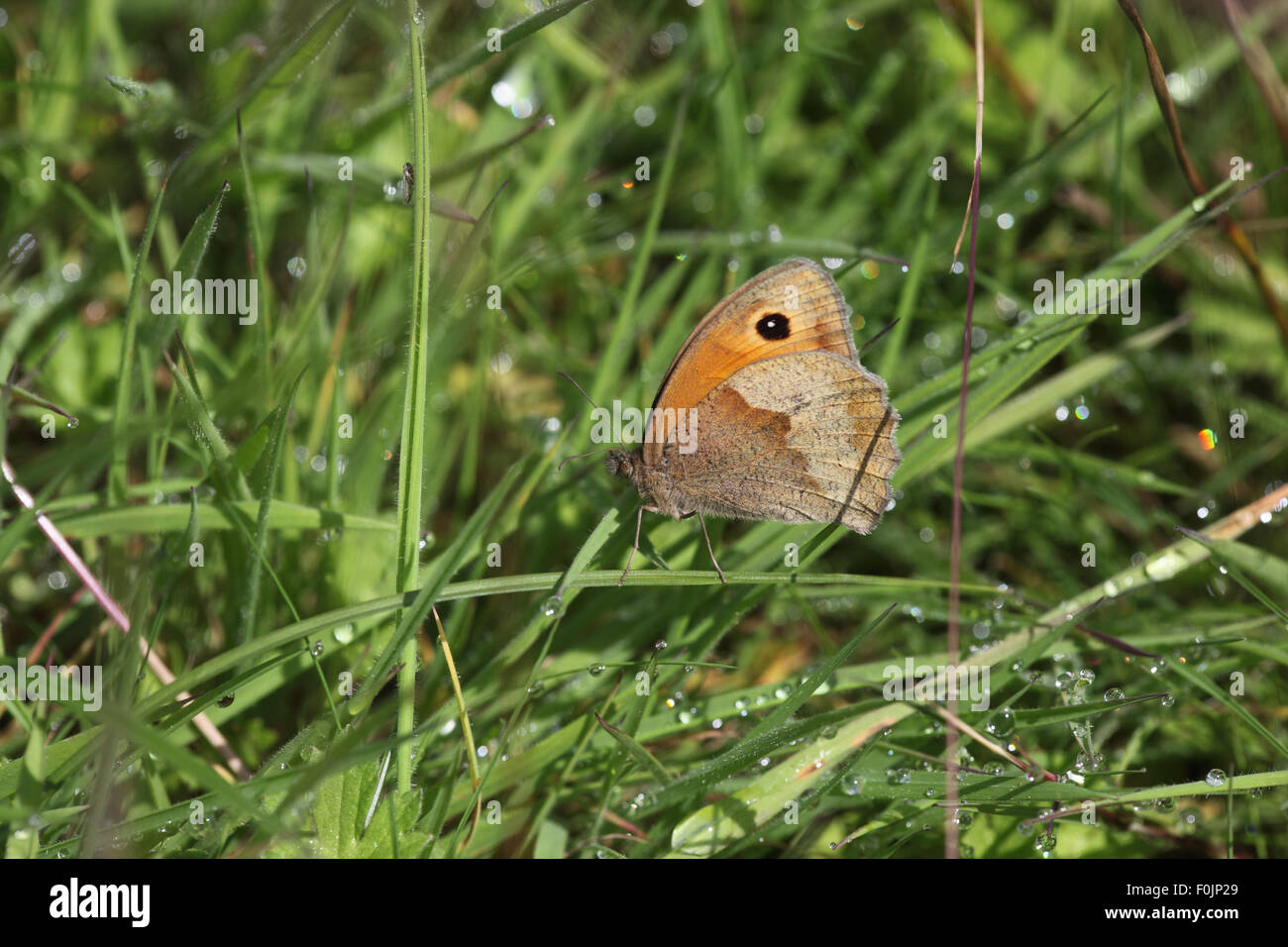 Meadow brown (Maniola jurtina) female sheltering from rain in long grass - Stock Image
