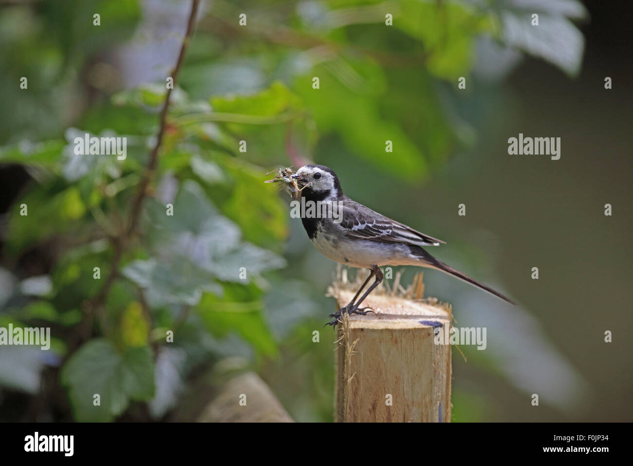 Pied wagtail (Motacilla alba)perching on fence post with beakful of insects side view - Stock Image