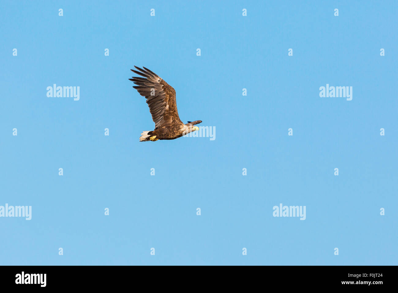 White Tailed eagle flying in the sky Stock Photo
