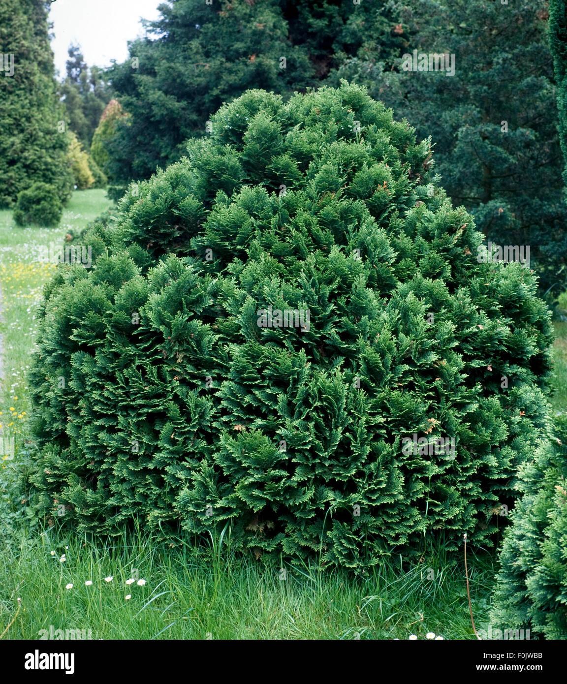 Scheinzypresse, Chamaecyparis, lawsoniana, Minima Glauca - Stock Image