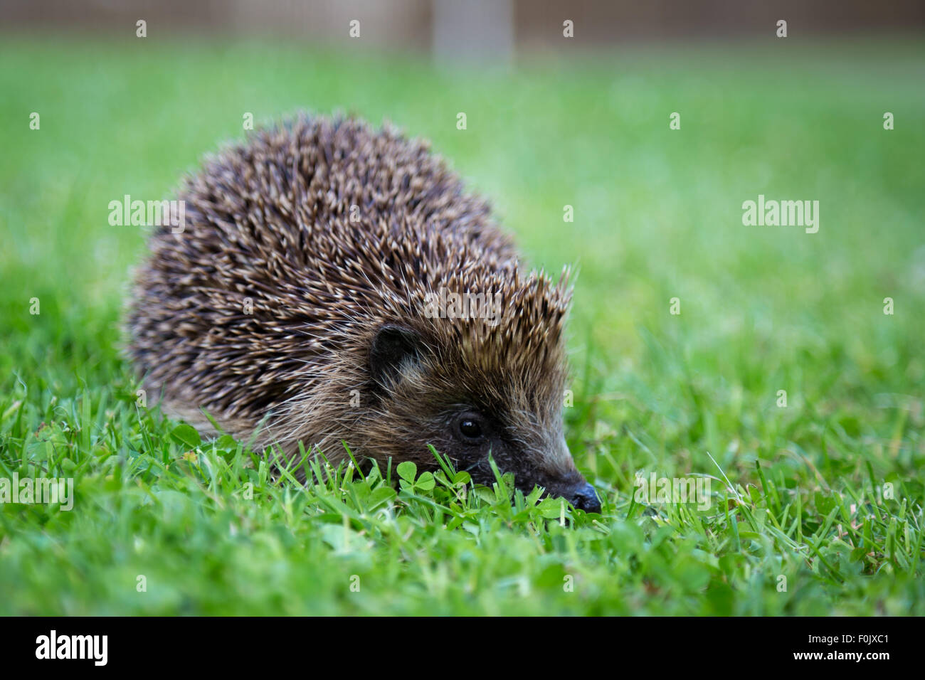 Hedgehog near Loch Tay in the Scottish Highlands. - Stock Image