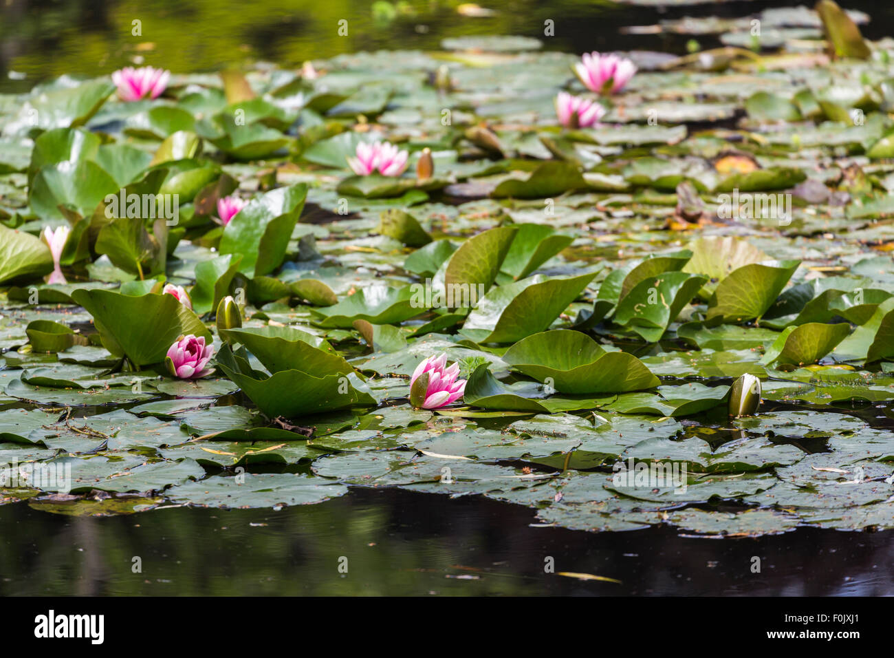 Pink water lilies in the popular Water Garden water lily pond at Giverny, the garden of impressionist painter Claude - Stock Image