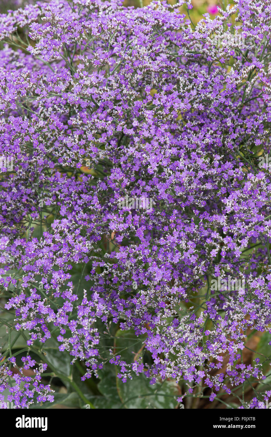 Limonium platyphyllum violetta. Broad leaved Statice - Stock Image