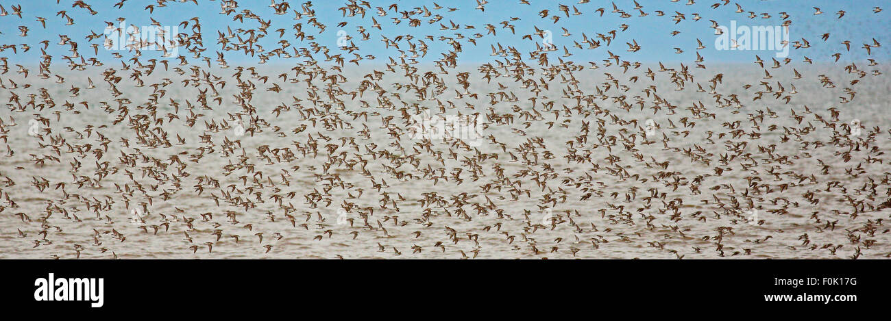 Flock of shorebirds (sandpipers, piping plovers) off shore in New Brunswick, Canada, during migration. - Stock Image