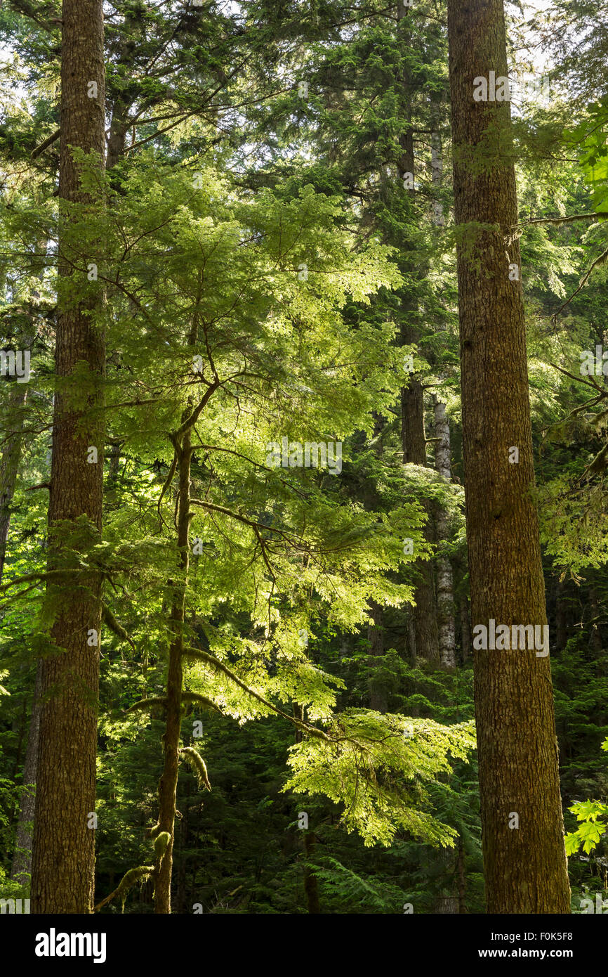 Evergreen trees backlit and glowing on the Marymere Falls trail near Lake Crescent in Olympic National Park, Washington - Stock Image