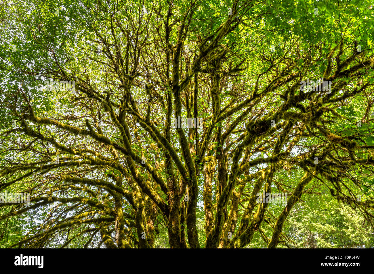 A sunlit bigleaf maple tree covered with epiphytic moss near Lake Crescent in Olympic National Park, Washington - Stock Image